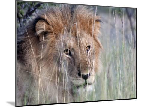 Male African Lion, Panthera Leo, in Tall Grasses-Kent Kobersteen-Mounted Photographic Print