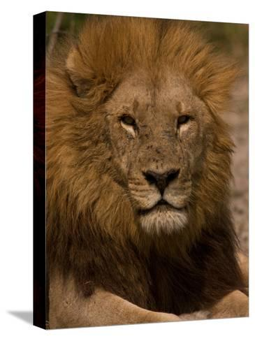 Portrait of a Resting Male African Lion, Panthera Leo-Beverly Joubert-Stretched Canvas Print