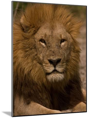 Portrait of a Resting Male African Lion, Panthera Leo-Beverly Joubert-Mounted Photographic Print