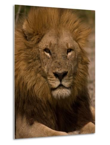 Portrait of a Resting Male African Lion, Panthera Leo-Beverly Joubert-Metal Print