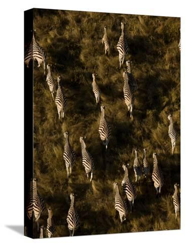 Aerial of a Herd of Burchell's Zebras Walking Through Grasslands-Beverly Joubert-Stretched Canvas Print