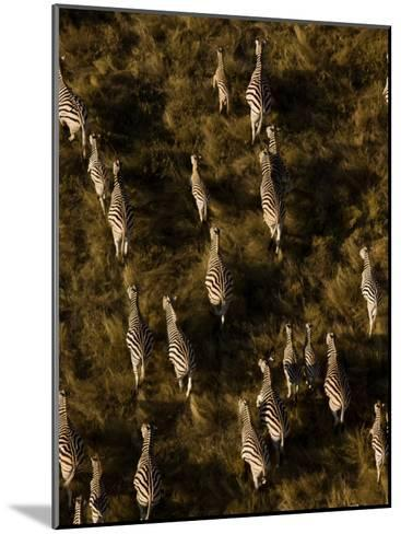 Aerial of a Herd of Burchell's Zebras Walking Through Grasslands-Beverly Joubert-Mounted Photographic Print