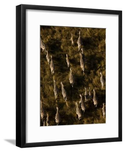 Aerial of a Herd of Burchell's Zebras Walking Through Grasslands-Beverly Joubert-Framed Art Print