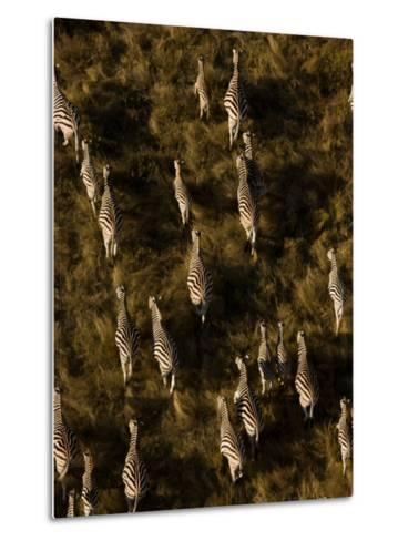 Aerial of a Herd of Burchell's Zebras Walking Through Grasslands-Beverly Joubert-Metal Print