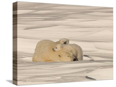 Polar Bear Sleeping with Her Cubs in a Snowy Landscape-Norbert Rosing-Stretched Canvas Print