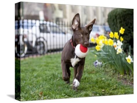 Pet Mutt-Chocolate Labrador Mix Dog Running with a Toy-Karine Aigner-Stretched Canvas Print