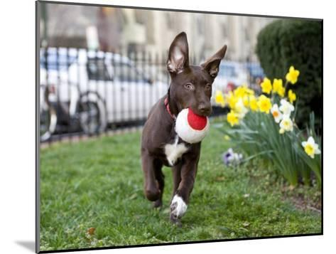 Pet Mutt-Chocolate Labrador Mix Dog Running with a Toy-Karine Aigner-Mounted Photographic Print