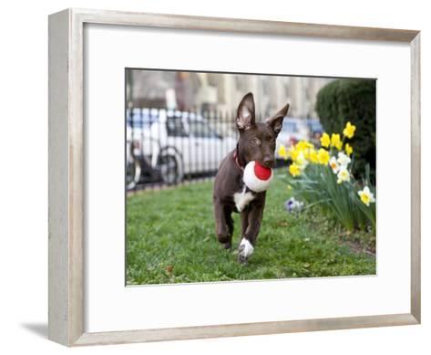 Pet Mutt-Chocolate Labrador Mix Dog Running with a Toy-Karine Aigner-Framed Art Print