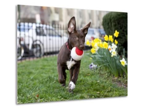 Pet Mutt-Chocolate Labrador Mix Dog Running with a Toy-Karine Aigner-Metal Print