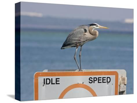 Great Blue Heron Standing on a Boating Sign-Marc Moritsch-Stretched Canvas Print