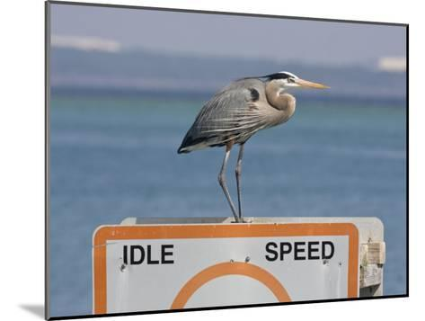 Great Blue Heron Standing on a Boating Sign-Marc Moritsch-Mounted Photographic Print