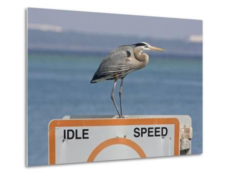 Great Blue Heron Standing on a Boating Sign-Marc Moritsch-Metal Print