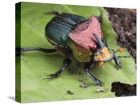 Metallic Colored Male Dung Beetle with Horn on its Head-George Grall-Stretched Canvas Print