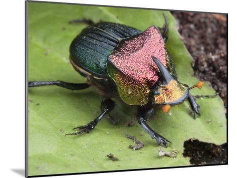 Metallic Colored Male Dung Beetle with Horn on its Head-George Grall-Mounted Photographic Print