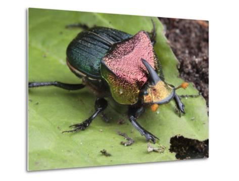 Metallic Colored Male Dung Beetle with Horn on its Head-George Grall-Metal Print