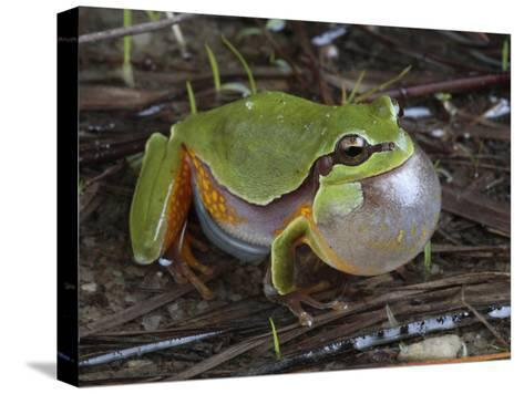 Male Pine Barrens Tree Frog, Hyla Andersoni, Calling for a Mate-George Grall-Stretched Canvas Print
