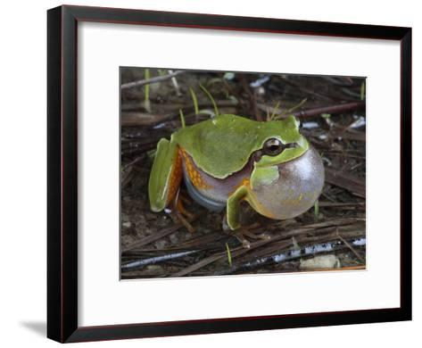 Male Pine Barrens Tree Frog, Hyla Andersoni, Calling for a Mate-George Grall-Framed Art Print