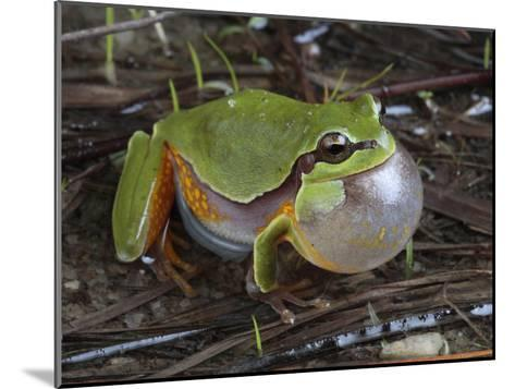 Male Pine Barrens Tree Frog, Hyla Andersoni, Calling for a Mate-George Grall-Mounted Photographic Print