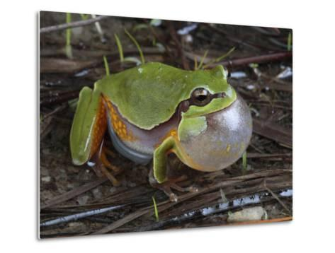 Male Pine Barrens Tree Frog, Hyla Andersoni, Calling for a Mate-George Grall-Metal Print