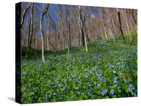 Virginia Bluebells, Mertensia Virginicais, Herald Spring in a Forest-George Grall-Stretched Canvas Print