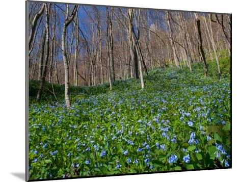 Virginia Bluebells, Mertensia Virginicais, Herald Spring in a Forest-George Grall-Mounted Photographic Print