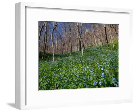 Virginia Bluebells, Mertensia Virginicais, Herald Spring in a Forest-George Grall-Framed Art Print