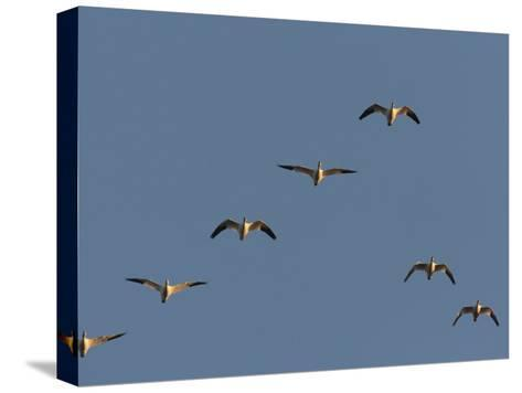 Snow Geese Flying in Formation in a Clear Blue Sky-George Grall-Stretched Canvas Print