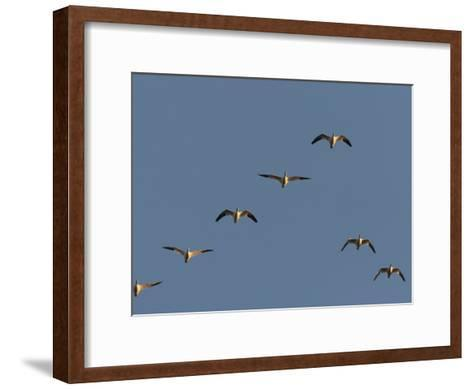 Snow Geese Flying in Formation in a Clear Blue Sky-George Grall-Framed Art Print