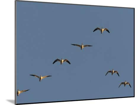 Snow Geese Flying in Formation in a Clear Blue Sky-George Grall-Mounted Photographic Print