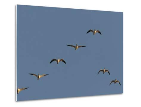 Snow Geese Flying in Formation in a Clear Blue Sky-George Grall-Metal Print