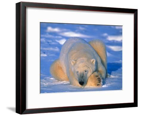Polar Bear (Ursus Maritimus). Churchill, Manitoba Canada-Nick Norman-Framed Art Print