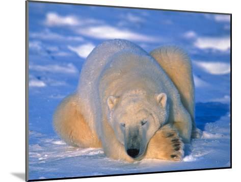 Polar Bear (Ursus Maritimus). Churchill, Manitoba Canada-Nick Norman-Mounted Photographic Print