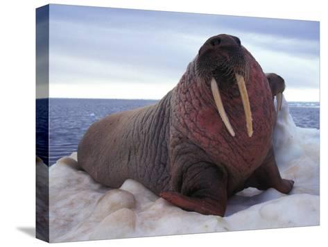 Two Atlantic Walrus Bask on Ice-Nick Norman-Stretched Canvas Print