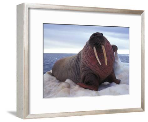 Two Atlantic Walrus Bask on Ice-Nick Norman-Framed Art Print