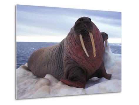 Two Atlantic Walrus Bask on Ice-Nick Norman-Metal Print