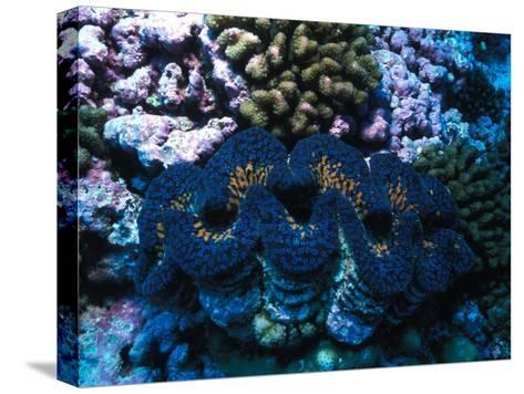 Giant Clam Amid Colorful Coral-Nick Norman-Stretched Canvas Print