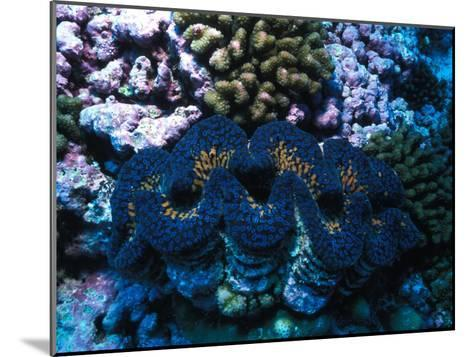 Giant Clam Amid Colorful Coral-Nick Norman-Mounted Photographic Print