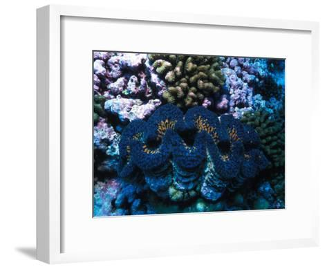 Giant Clam Amid Colorful Coral-Nick Norman-Framed Art Print