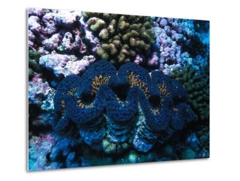 Giant Clam Amid Colorful Coral-Nick Norman-Metal Print