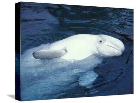 Beluga Whale in an Aquarium-Nick Norman-Stretched Canvas Print