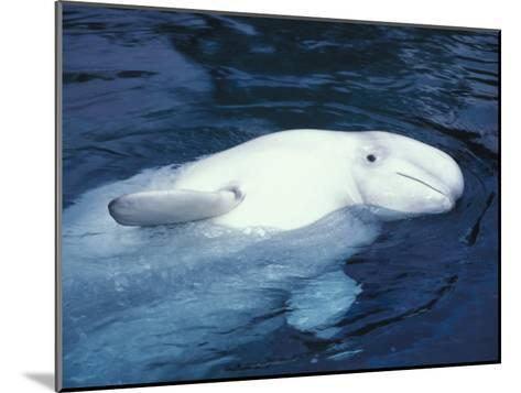 Beluga Whale in an Aquarium-Nick Norman-Mounted Photographic Print
