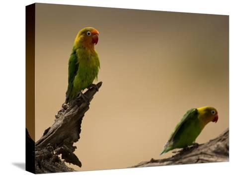 Fischer's Lovebirds Perch on a Branch-Ralph Lee Hopkins-Stretched Canvas Print