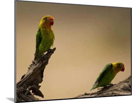 Fischer's Lovebirds Perch on a Branch-Ralph Lee Hopkins-Mounted Photographic Print