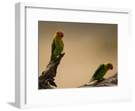 Fischer's Lovebirds Perch on a Branch-Ralph Lee Hopkins-Framed Art Print