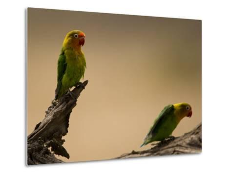 Fischer's Lovebirds Perch on a Branch-Ralph Lee Hopkins-Metal Print