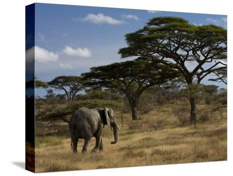 African Elephant Walks Among Acacia Trees-Ralph Lee Hopkins-Stretched Canvas Print