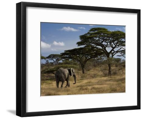 African Elephant Walks Among Acacia Trees-Ralph Lee Hopkins-Framed Art Print