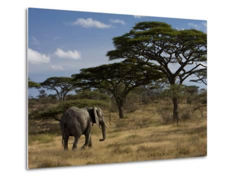 African Elephant Walks Among Acacia Trees-Ralph Lee Hopkins-Metal Print
