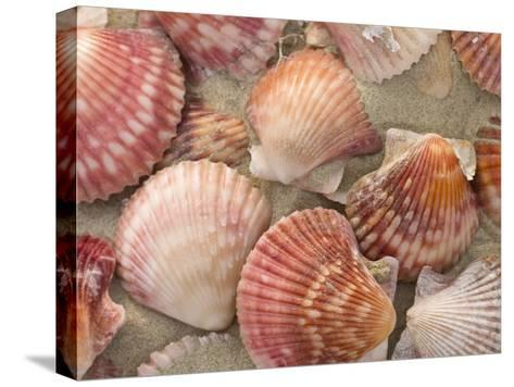 Scallop Shells on a Beach-Ralph Lee Hopkins-Stretched Canvas Print