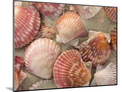 Scallop Shells on a Beach-Ralph Lee Hopkins-Mounted Photographic Print